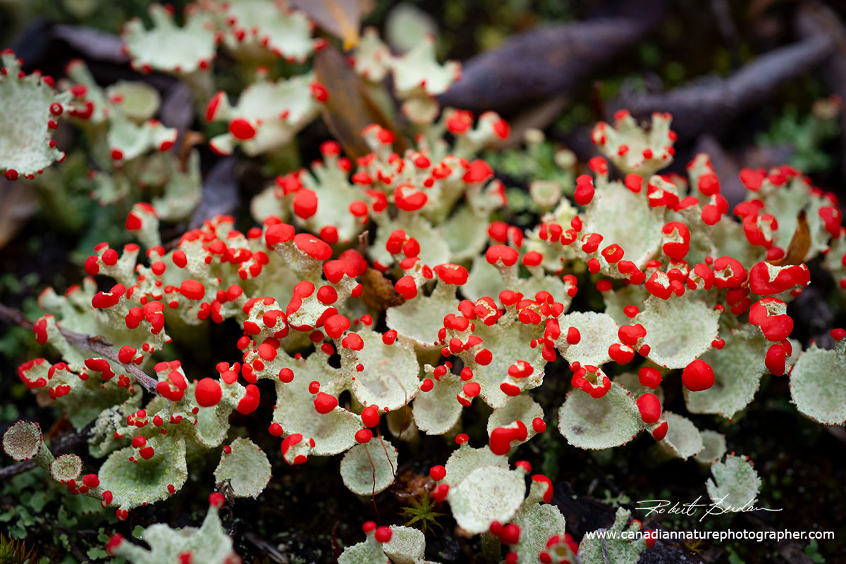 Cladonia sp of Lichen with red sorri by Robert Berdan ©