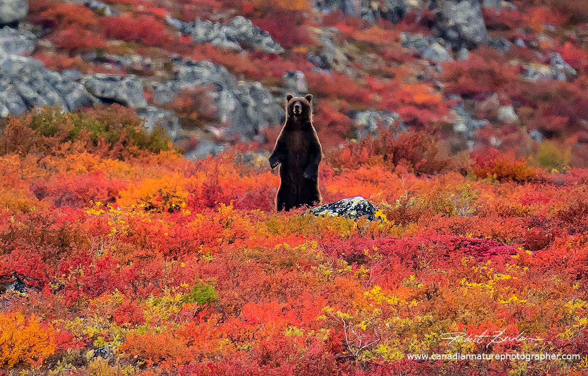 Grizzly standing on the Tundra by Robert Berdan ©