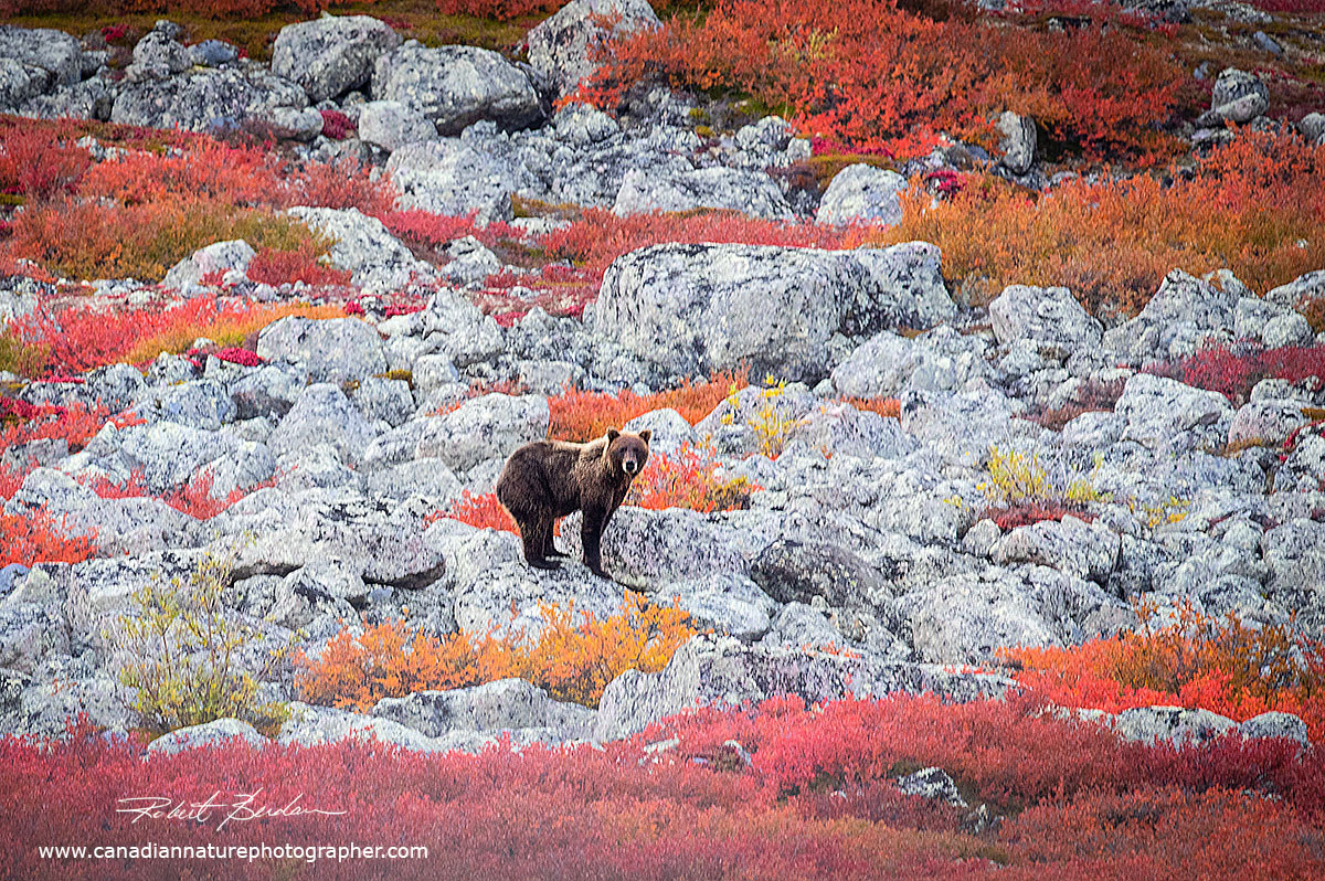 Grizzly spotted near the shoreline of Point Lake stops briefly to watch us in the boats by Robert Berdan ©