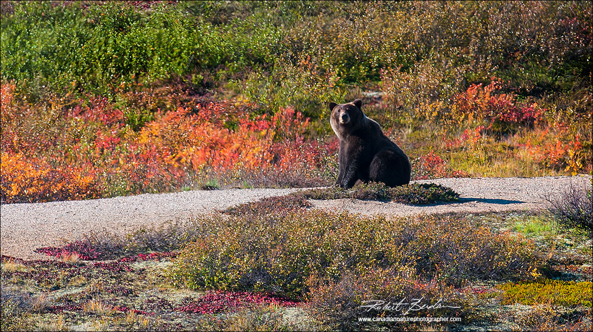 Grizzly bear on the tundra North West Territories by Robert Berdan ©