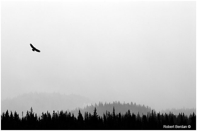 Eagle in front of snow squall Banff National Park by Robert Berdan