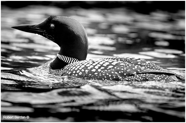 Common Loon in black and white by Robert Berdan ©