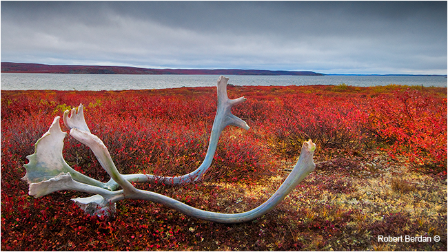 Caribou antlers that have been chewed on by Robert Berdan ©