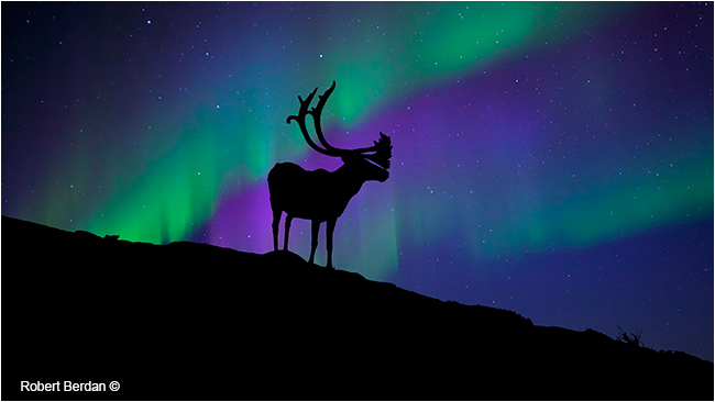 Caribou silhoutte with the Aurora borealis by Robert Berdan ©