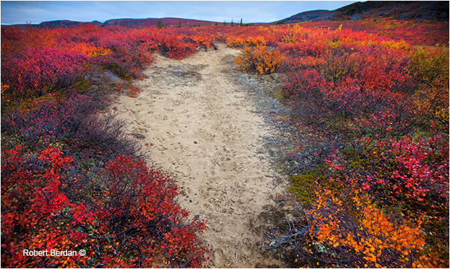 Caribou trail on the tundra in NWT by Robert Berdan ©