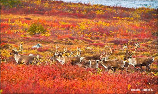 Caribou herd running on the tundra by Robert Berdan '
