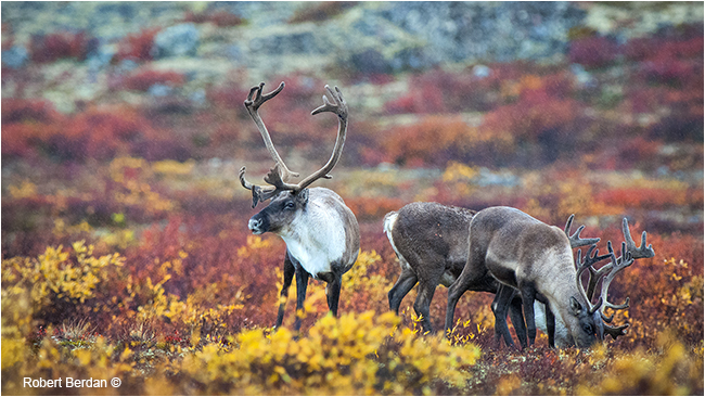 Caribou on the tundra in autumn by Robert Berdan ©