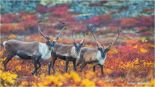 Three caribou bulls on the tundra by Robert Berdan ©