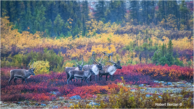 Caribou in sleet on the tundra by Robert Berdan ©