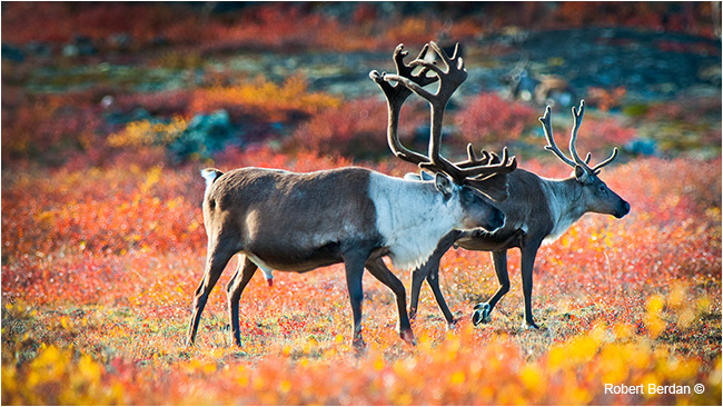Bull caribou on the tundra by Robert Berdan ©