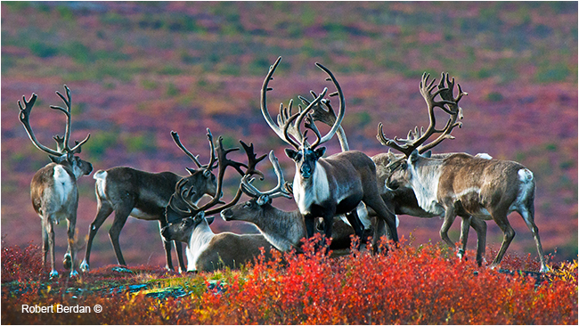 Group of Caribou bulls on the tundra by Robert Berdan ©