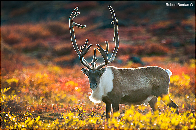 Caribou bull on the barrens by Robert Berdan ©