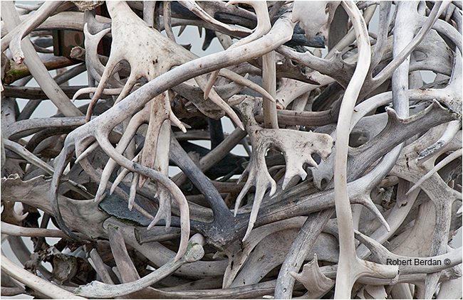 Stack of caribou antlers by Robert Berdan ©
