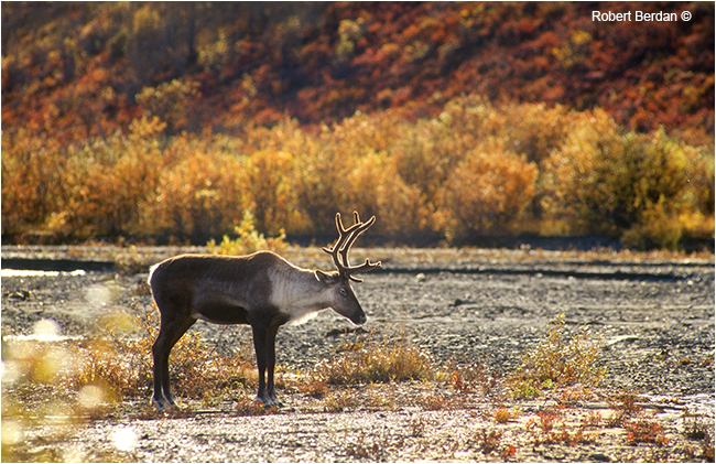 Mountain caribou in Denali national park by Robert Berdan