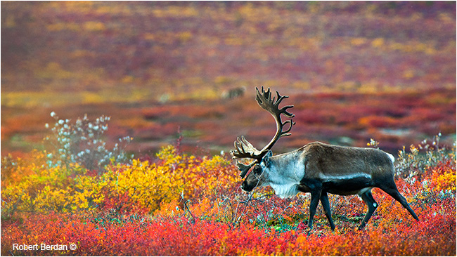 Bull caribou on the barrens by Robert Berdan ©
