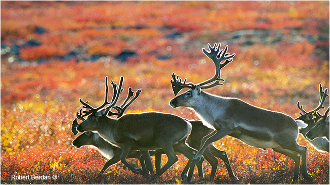 Running caribou on the tundra by Robert Berdan ©