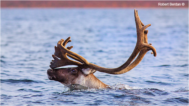 Caribou swimming in Pont Lake by Robert Berdan ©