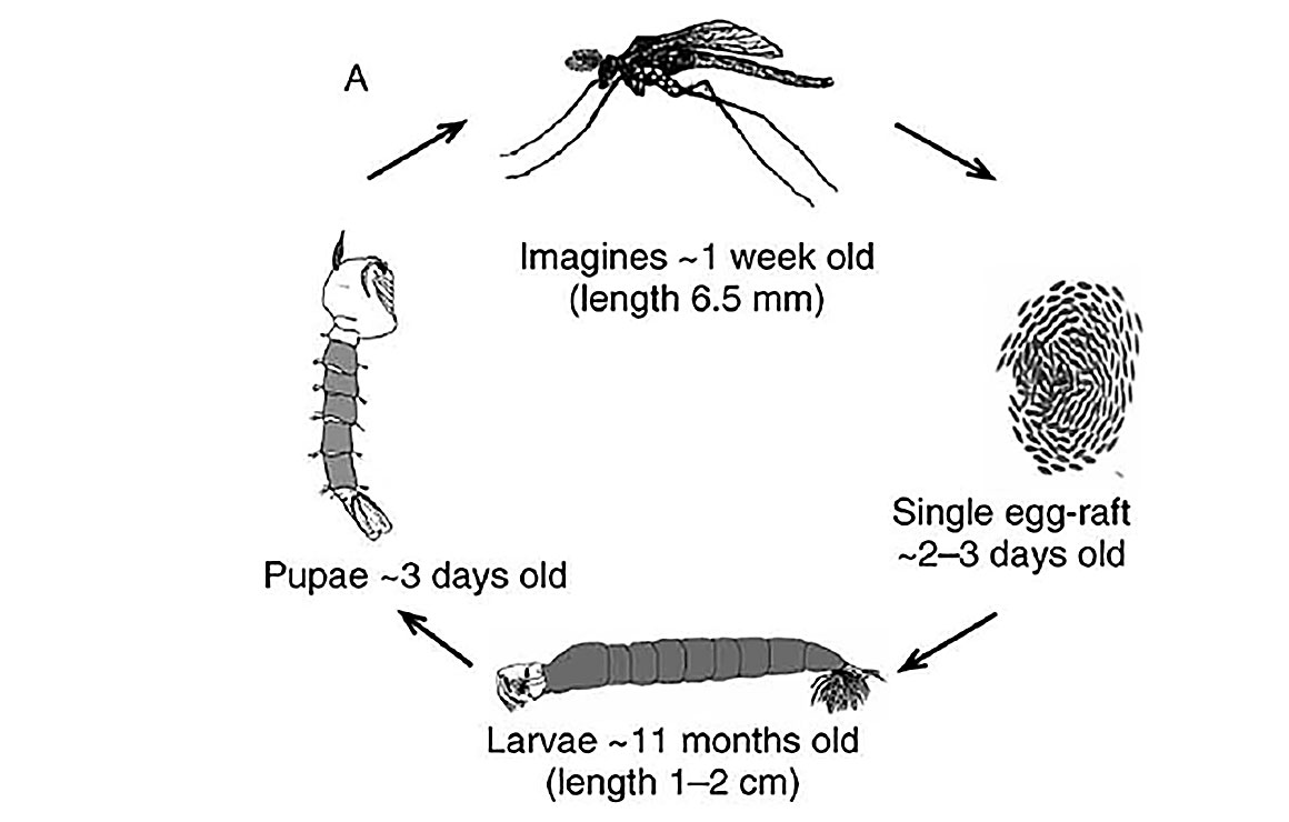 Life cycle of Chaoborus, illustrating the various stages (egg,larval, pupal, adult). diagram from T.U. Berendonk et al 2009
