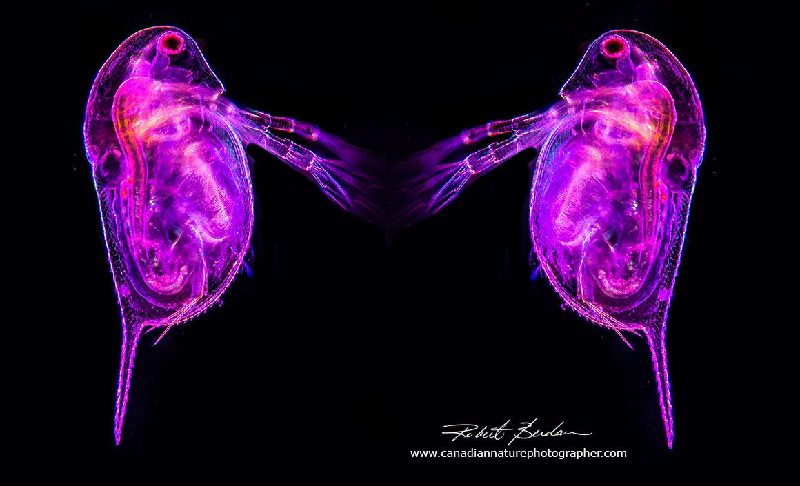 Composite photo of two Daphnia using a combination of Darkfield and Rheinberg lighting Robert Berdan ©