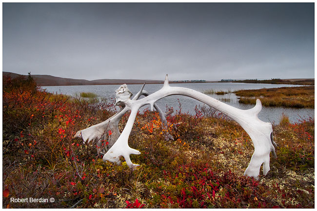 Discarded caribou antlers near Peterson's Point Lake Lodge by Robert Berdan ©