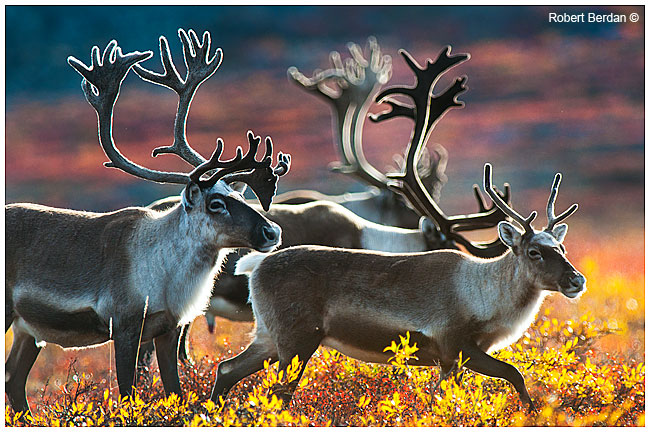 Backlighting on caribou near Peterson's Point Lake Lodge by Robert Berdan ©