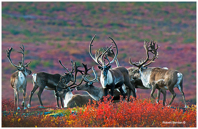 Cluster of caribou near Peterson's Point Lake lodge cabins by Robert Berdan ©