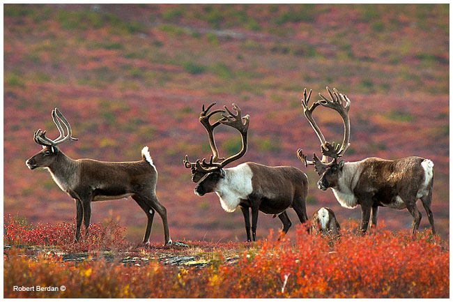 Female and two Caribou bulls near Peterson's Point Lake Lodge ©