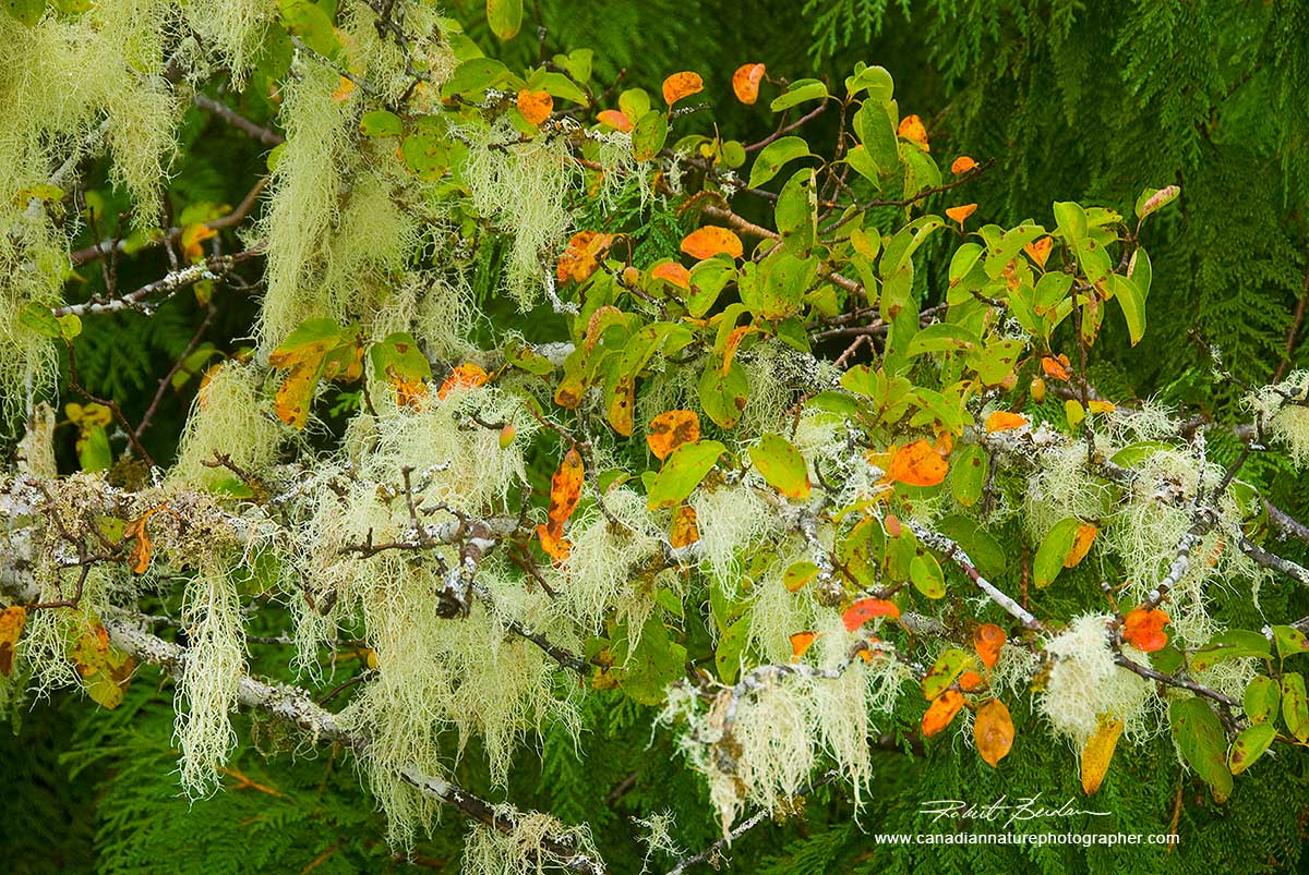 Complimentary colours of moss and orange leaves on this Crabapple tree - West Coast, BC.  by Robert Berdan ©