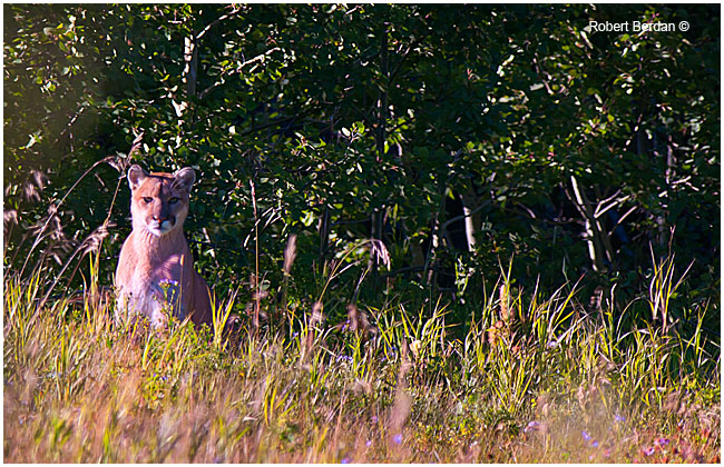 Wild cougar mountain lion in Waterton National Park by Robert Berdan ©