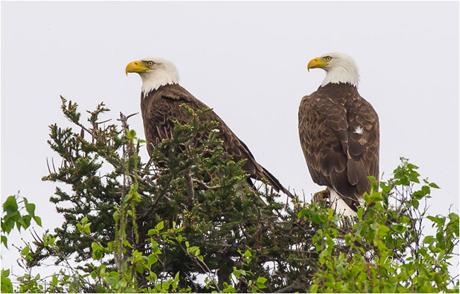 Bald eagles in tree by Dale Mierau ©