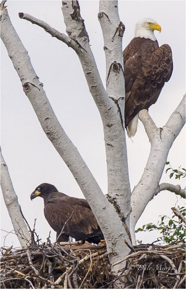Adult and immature bald eagle by Dale Mierau