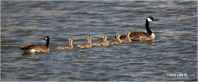 Canada goose goslings by David Lilly ©