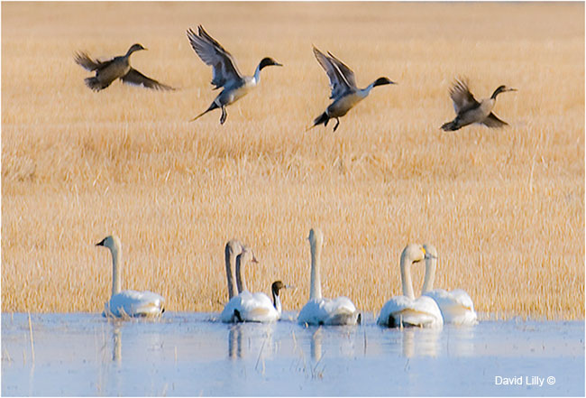 Tundra swans (Cygnus columbianus) and Northern Pintail ducks (Anas acuta) by David Lilly ©