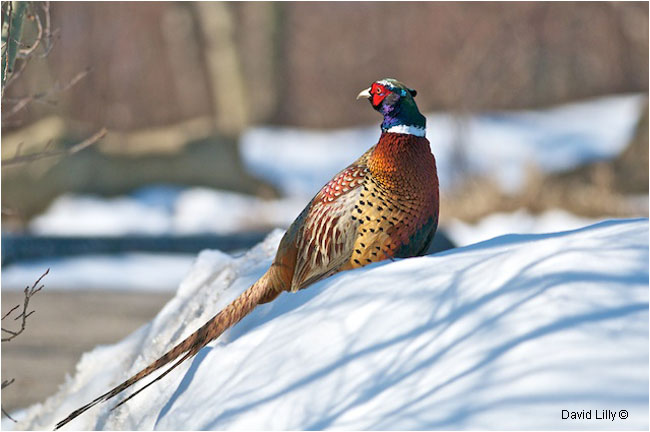 Ring-Necked Pheasant by David Lilly ©