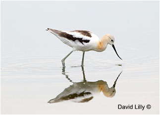 American Avocet David Lilly