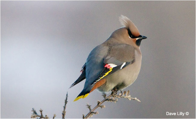 Bohemian waxwing by Dave Lilly ©