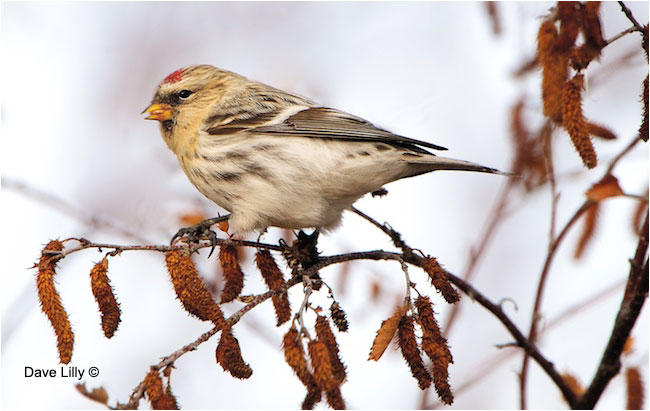 Common Redpoll by Dave Lilly ©