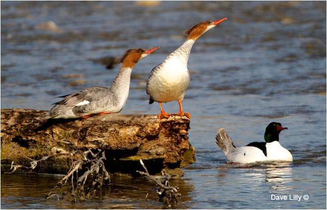 Common Mergansers by Dave Lilly ©