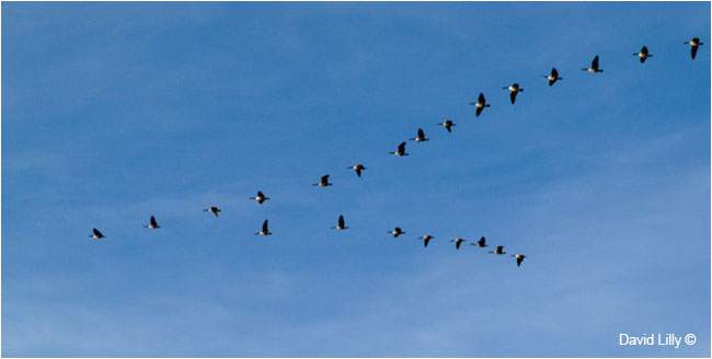 Canada Geese in formation by David Lilly  ©