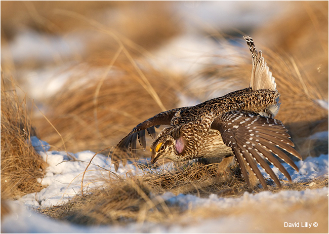 Sharp-tailed grouse by David Lilly ©