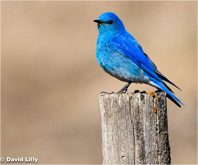Mountain blue bird by David Lilly ©