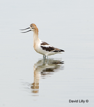 American Avocet David Lilly ©