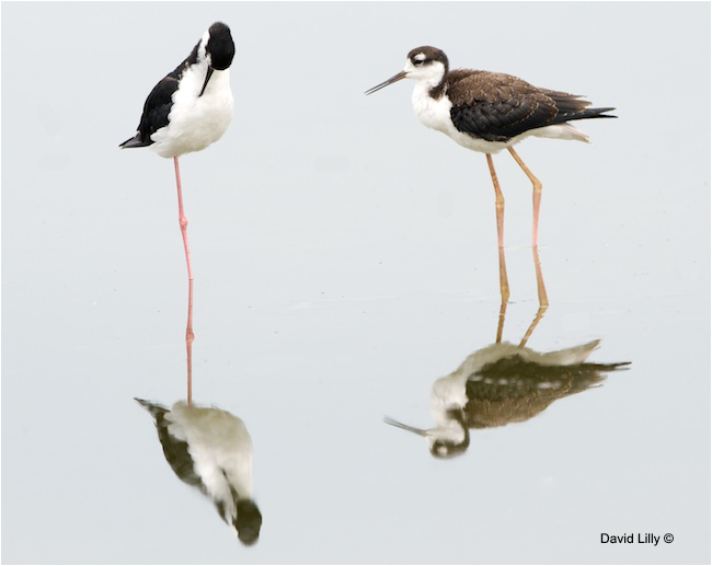 Black-necked Stilts David Lilly