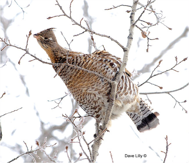 Rouffed Grouse by Dave Lilly ©