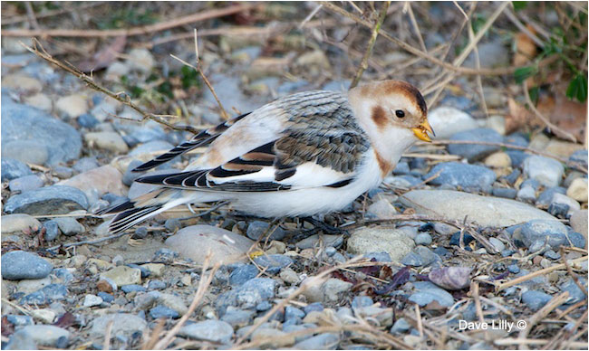 Snowbunting by Dave Lilly ©