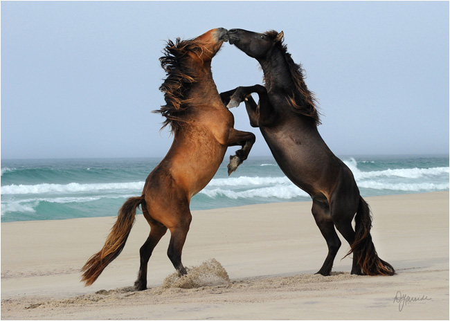 Contact horses on Sable Island by Deb Garside ©