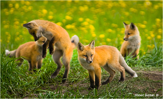 Baby red foxes playing by Robert Berdan ©
