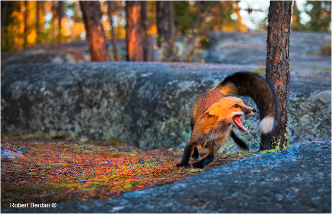 Red fox chasing a competitor away by Robert Berdan ©