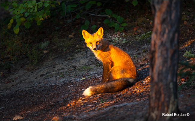 Red fox in early morning light by Robert Berdan ©