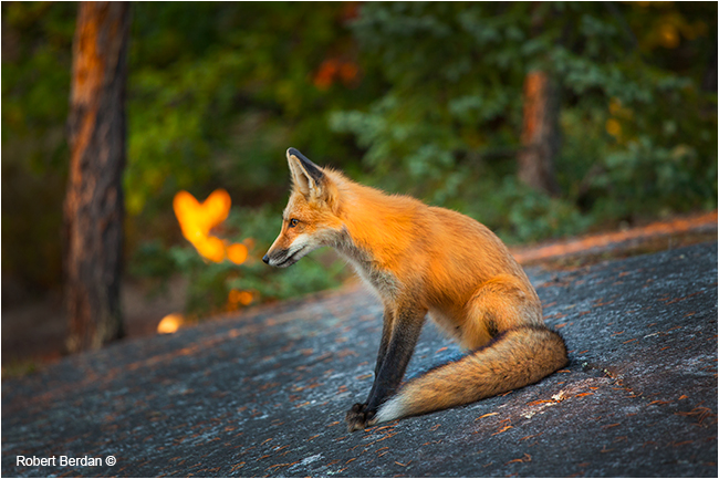 Red foxes by Robert Berdan ©